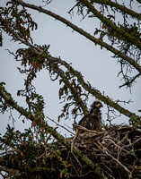 Baby Eaglet Watching for Parents